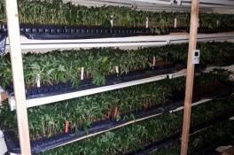 5000 hennepstekken en honderden moederplanten aangetroffen in woning in Wanroij